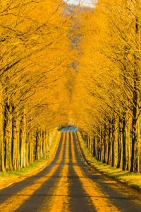 Ornage symmetric tree road Japan