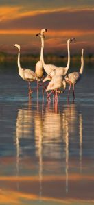 Flamingos reflected